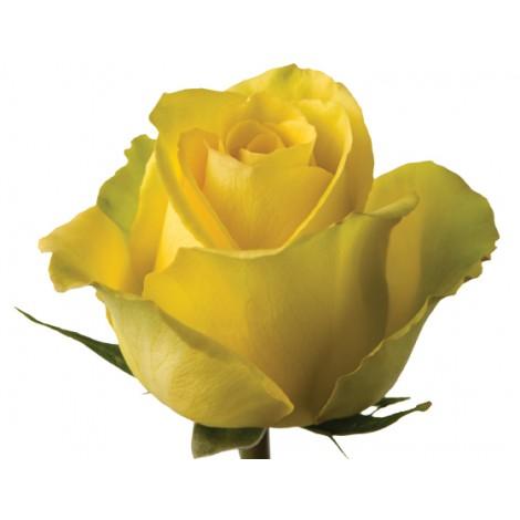 ROSA CO. YELLOW BIKINI 60 CM - TALLOS